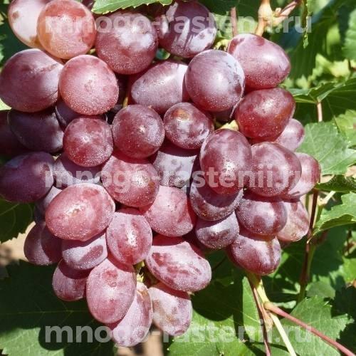 Саженцы винограда Виктория