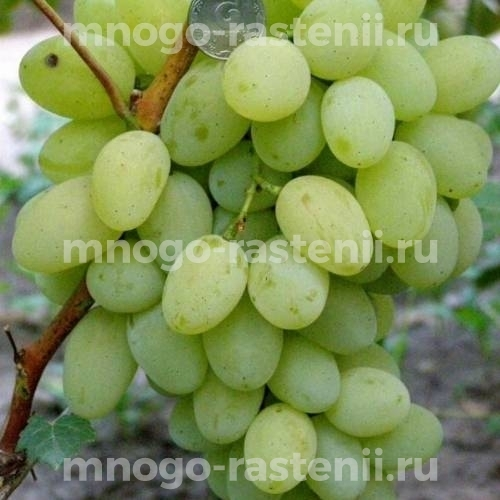 Виноград Деметра