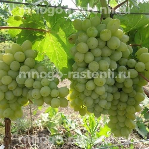 Виноград Есенин