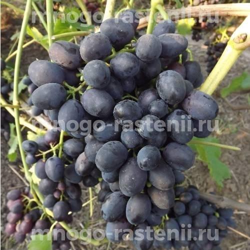 Саженцы виноград Забава