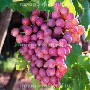 Виноград Новый русский