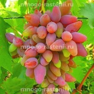 Виноград Оригинал