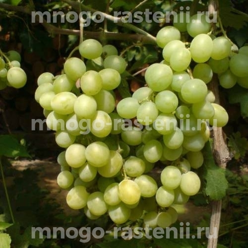 Виноград Русбол мускатный