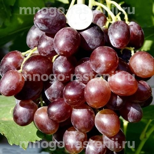 Виноград Щегол