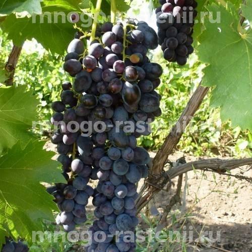 Виноград Яся