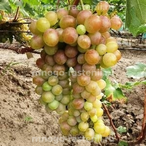 Виноград Лаура