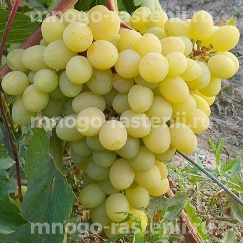 Виноград Глория