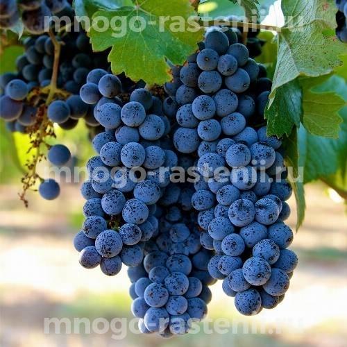 Виноград Пино Нуар