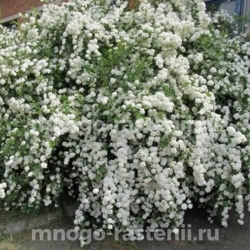 Спирея Белая Невеста