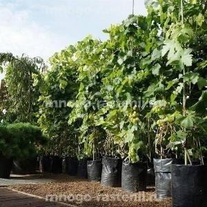 Виноград девичий приречный Зеленая гора