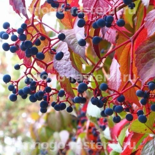 Виноград девичий виргинский