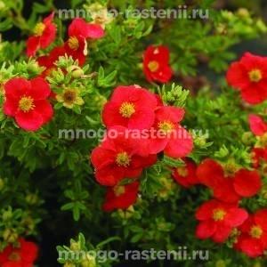 Лапчатка кустарниковая Мэрион Ред Робин