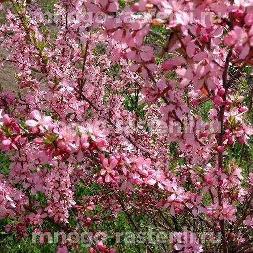 Миндаль декоративный Розовый туман