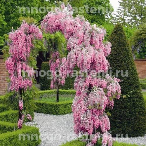 Глициния обильноцветущая Розеа