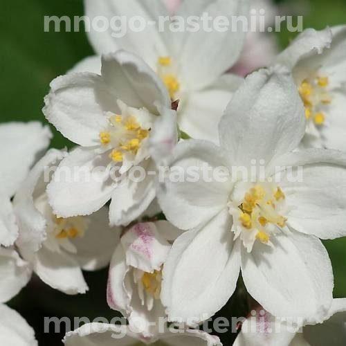 Дейция Крупноцветковая