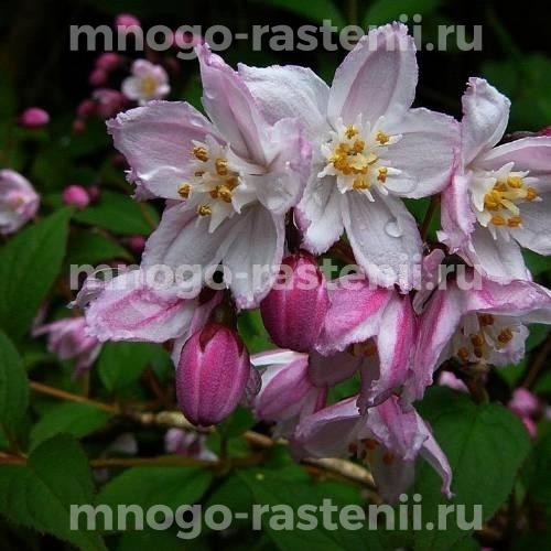 Дейция Розовая (Deutzia rosea)