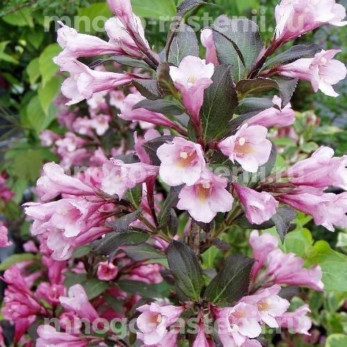 Вейгела цветущая Виктория
