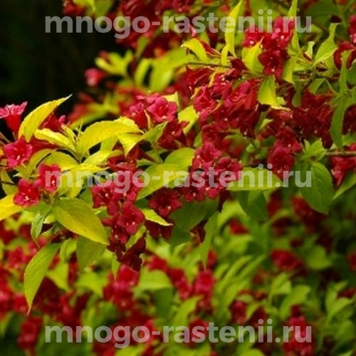 Вейгела цветущая Ауреа
