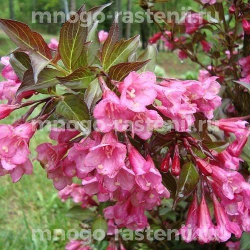 Вейгела цветущая Нана Пурпуреа