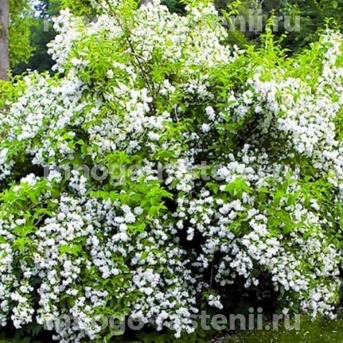 Жасмин садовый Вёджинэл