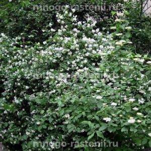 Жасмин садовый Шниструм (SCHNEESTURM)