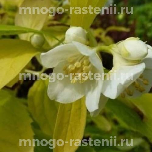 Жасмин садовый Ауреус (AUREUS)