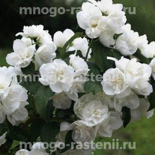 Жасмин садовый Миннесота Сноуфлэйк (Minnesota Snowflake)
