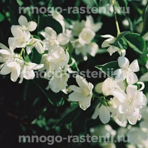 Жасмин садовый Балет Мотыльков