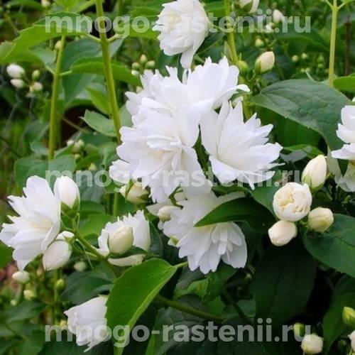 Жасмин садовый Джирандоль