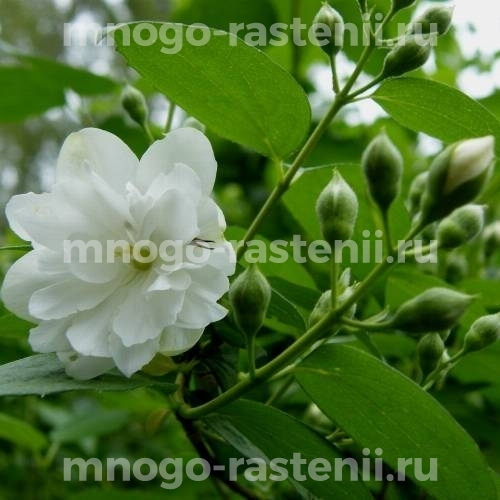 Жасмин садовый Лемуана (Lemoine)