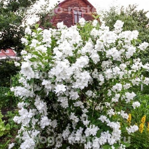 Жасмин садовый Эльбрус (Elbrus)