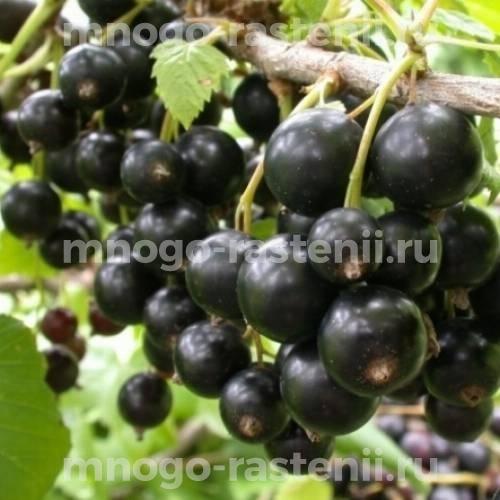 Смородина черная Селеченская 2