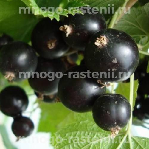 Смородина черная Багира