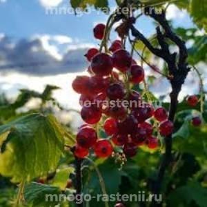 Смородина красная Фертоди