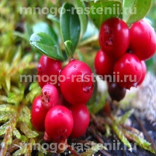 Брусника обыкновенная Red pearl