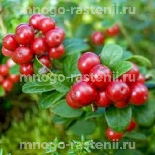 Брусника садовая Редберри