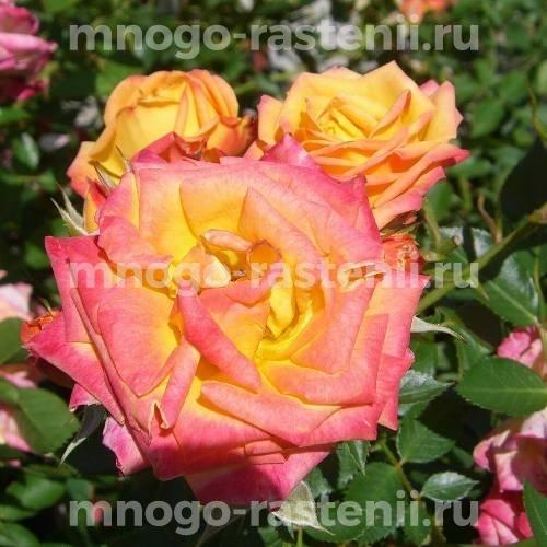 Роза Сан-Сет