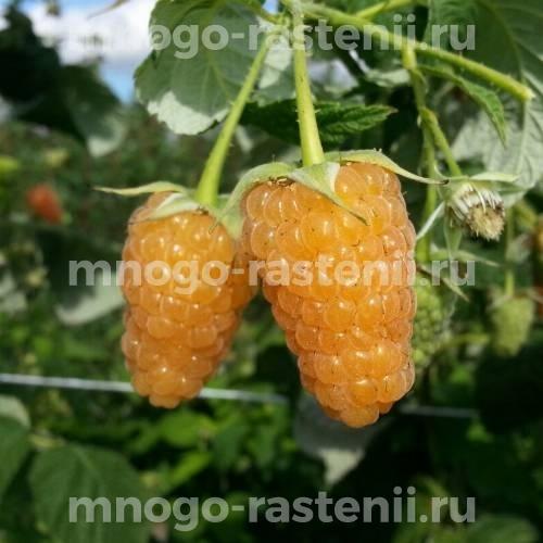 Малина Оранжевое Чудо