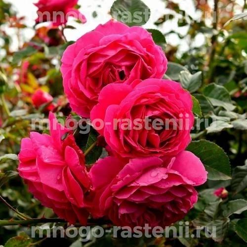 Роза Кордеса