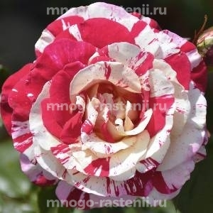 Роза Вишурана