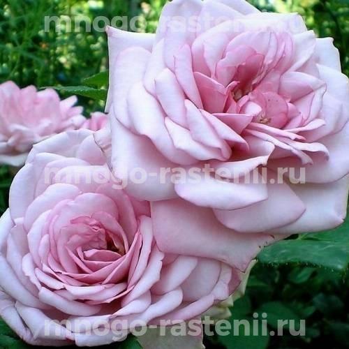 Роза Ламберта