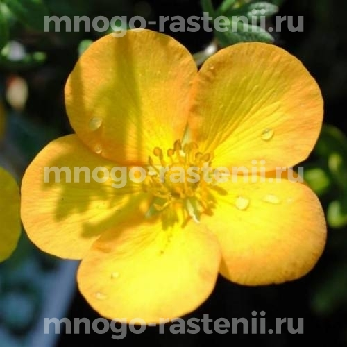 Лапчатка кустарниковая Тангерин