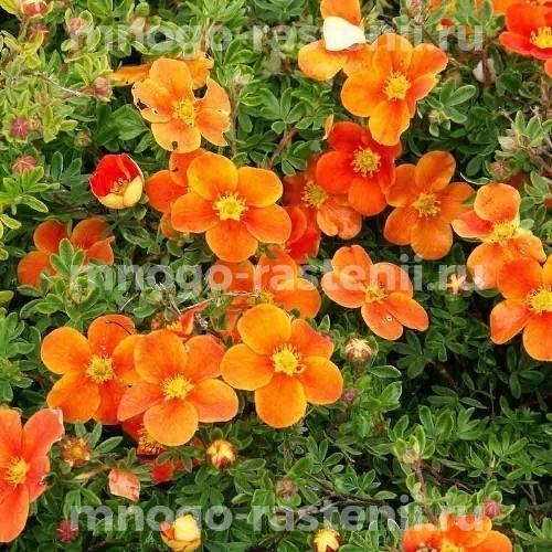 Лапчатка кустарниковая Хоплейс Оранж