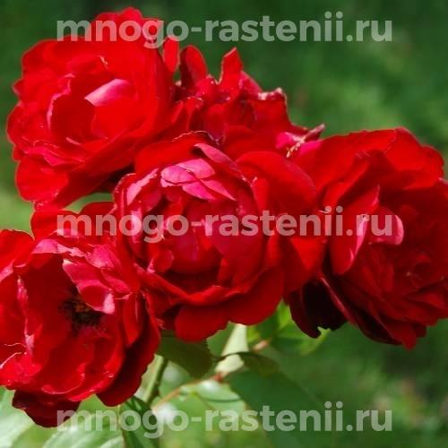 Роза Лили Марлен