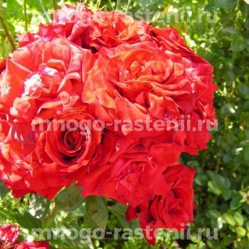 Роза Никколо Паганини