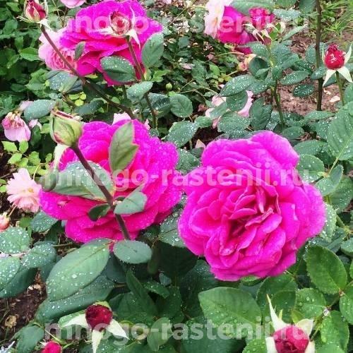 Розы Биг Пёрпл