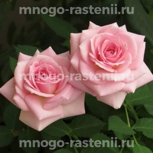 Роза Фламинго