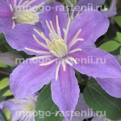 Клематис крупноцветковый Юста