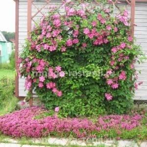 Клематис крупноцветковый Виль де Лион