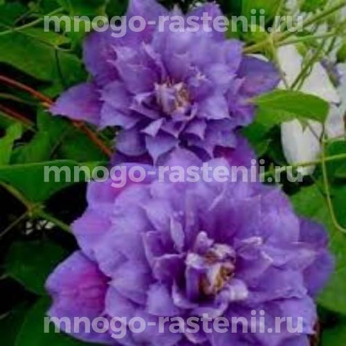 Клематис крупноцветковый Бьюти оф Ворчестер